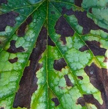 Brunnera macrophylla with foliar nematodes