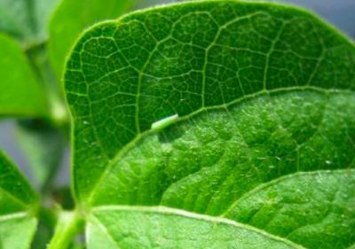 Potato leafhopper on green beans.