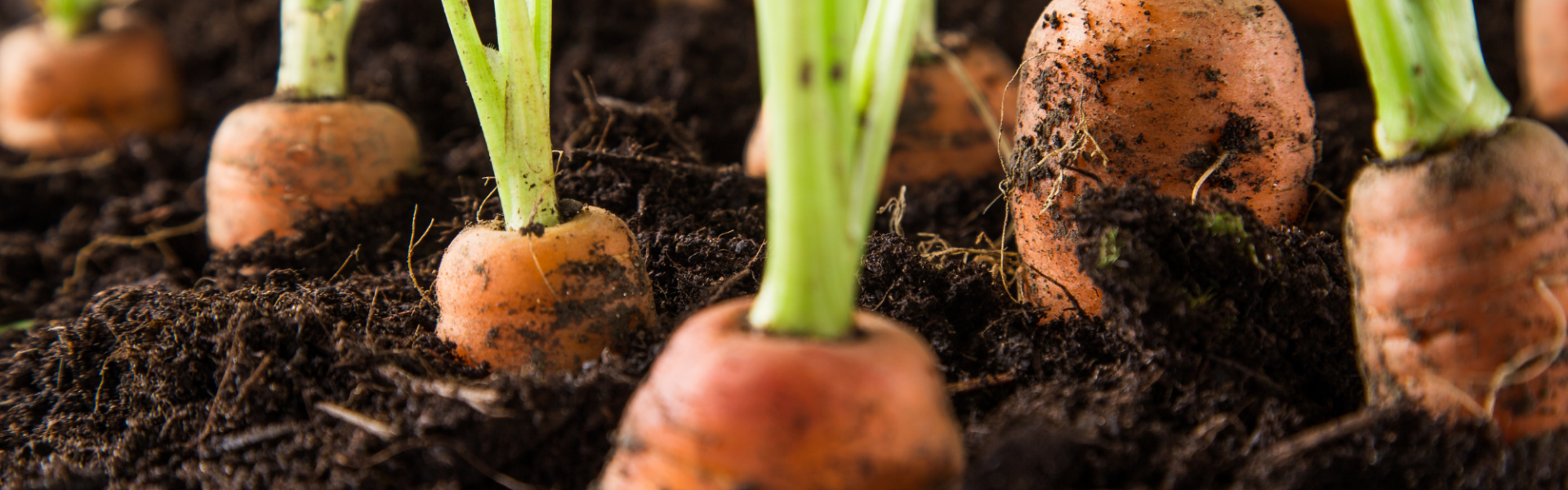 carrots popping out of soil on a farm