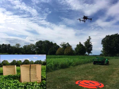 Drone practice flight and potato leafhopper experiment cages on beans planted at UConn Plant Science Research Farm.