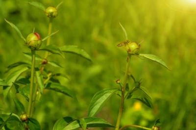 flowering peonies in green grass