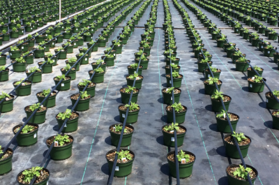 many rows of plants