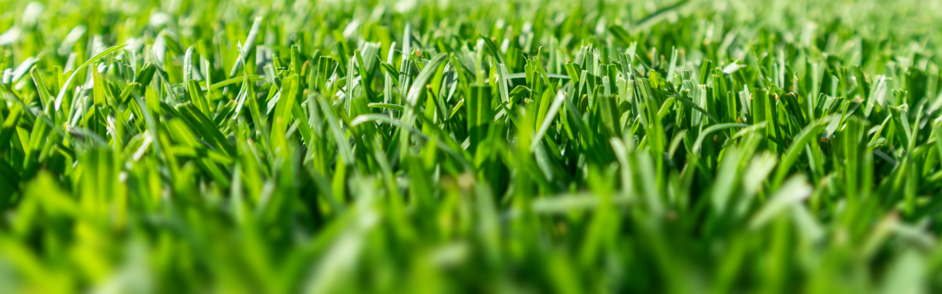turfgrass in an athletic field