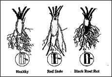 black root rot in strawberries