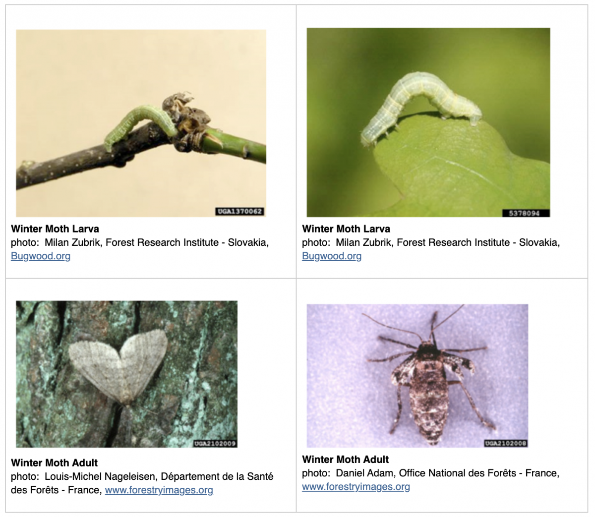 four different photos of winter moths