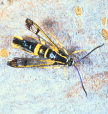 dogwood adult insect