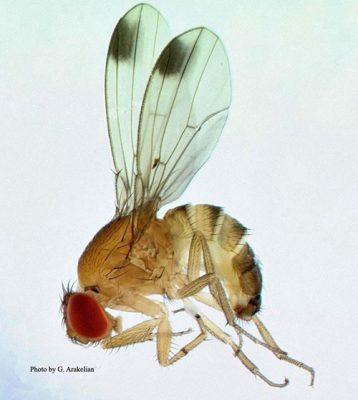 spotted wing drosophila