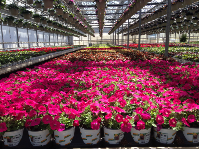 pink plants in a greenhouse