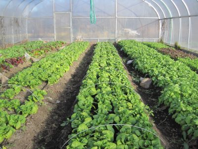 vegetables growing in high tunnel