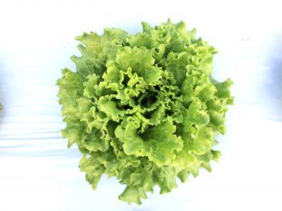 green head of lettuce growing in white plastic mulch on vegetable farm