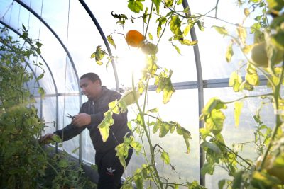 man trimming tomatoes in a high tunnel