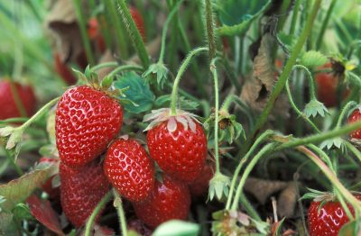 red strawberries on a plant in the field on a farm