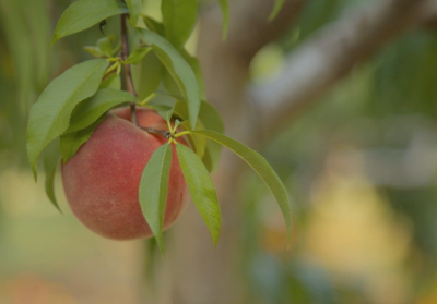 peach hanging on a tree