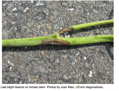 late blight lesion on tomato plant