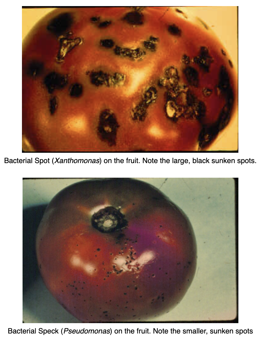 bacterial diseases of tomato