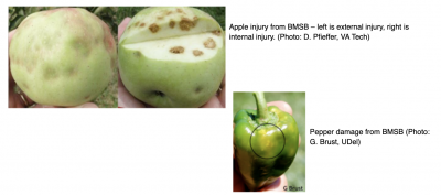 apple injury from BMSB