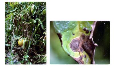 fungal leaf spot on tomatoes
