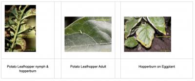 potato leafhopper