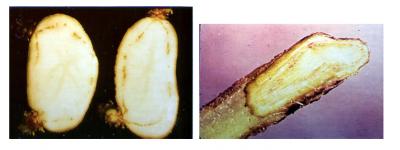 vascular wilts on potatoes