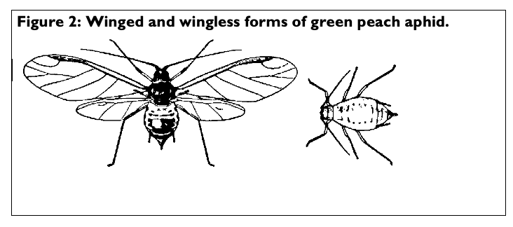 Figure 2 winged aphids