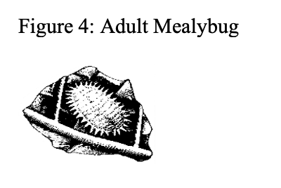 adult mealybug