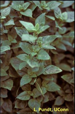 Green basil plant