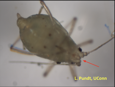 Grey bug also known as aphid