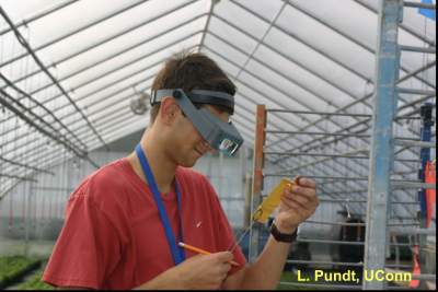 man looking at sticky card for insect pests in an herb greenhouse