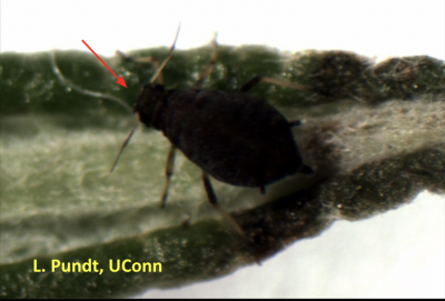 Black aphid with antennae on a leaf