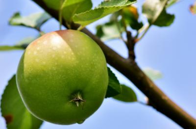 green apple hanging on tree