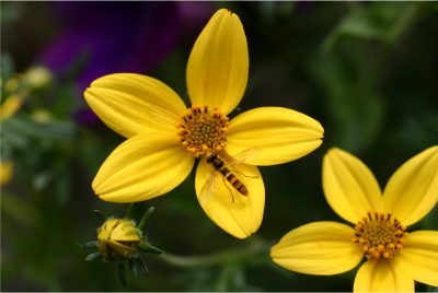 biological control insect on a yellow flower in a greenhouse