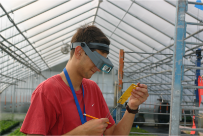 man in red shirt with magnifying glasses looking at IPM insect scouting card in a greenhouse