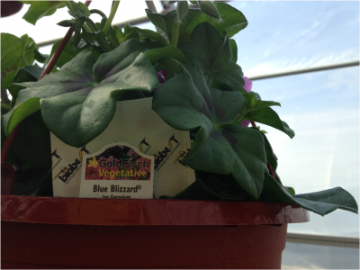 hanging basket with biological control in a greenhouse