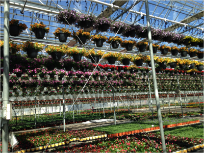 hanging baskets in a greenhouse