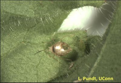 Clear bug on bright green leaf