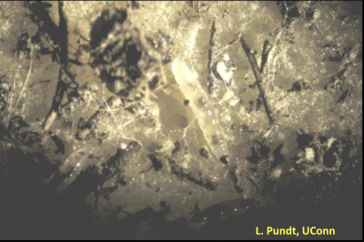 Microscopic image of gnats on potato slices